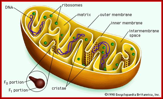 Structure Of Plant And Animal Cells Http Www Cellsalive Com Cells Cell