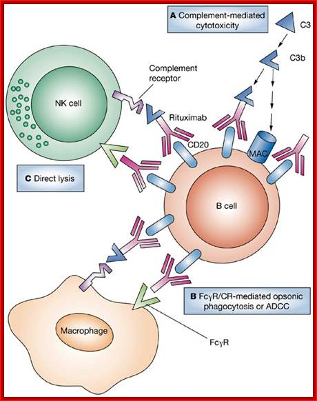 Prednisolone Mechanism Of Action