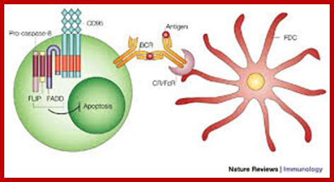 Action of opsonins; a phagocytic cell recognizes the opsoninson the ...