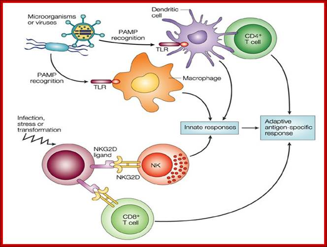 Where Are Natural Killer Cells Located In The Body