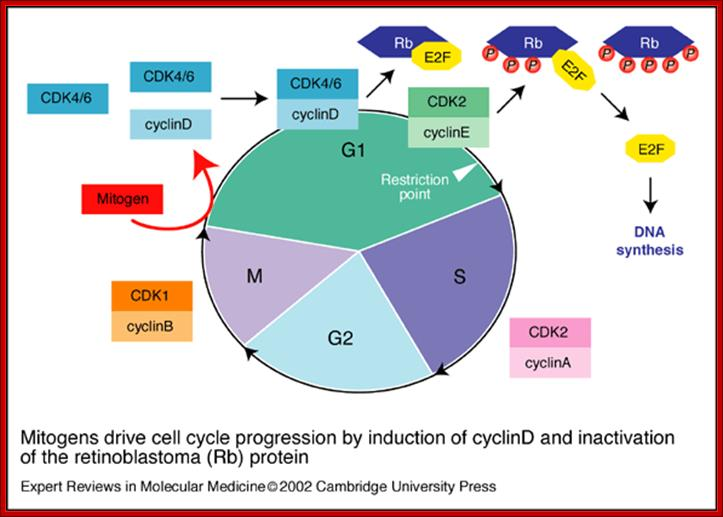 Cell cycle regulation ccuart Image collections