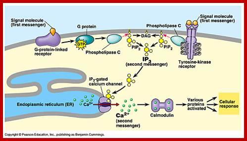 Forskolin mitochondria cellular