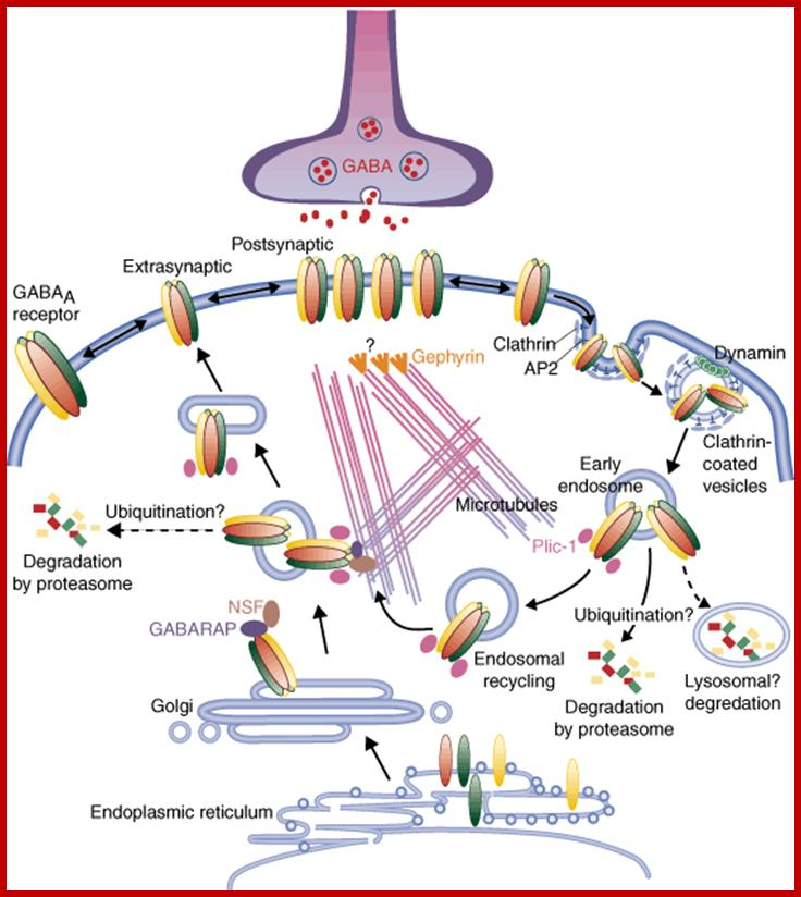 Light Induced CGMP Mediated Na Channel Opening And Closing