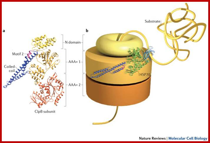 Cotranslational Assembly Of Protein Complexes