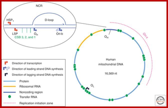 housekeeping genes of mitochondrial genome