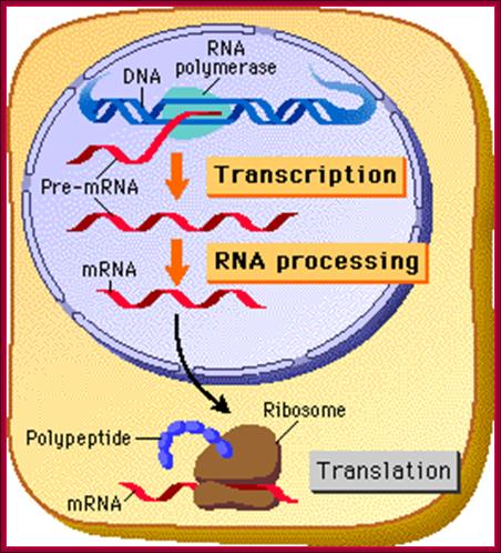 dna replication transcription and translation Dna stands for deoxyribonucleic acid dna is the genetic material of an organism, stored in chromosones in the nucleus dna is made up of units called nucleotides phosphate.