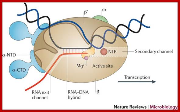 termination and antitermination: rna polymerase runs a stop sign