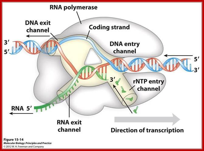distinct channels in rna polymerase allow dna to enter as dsdna and peel  apart within polymerase so that 8bp form between template strand and  growing rna