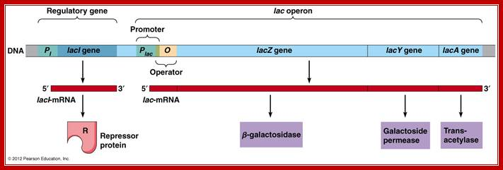 11 : lac operon diagram - findchart.co