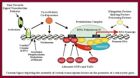 Transcription Diagram   Gene Expression Ii5b Mechanism Of Transcription