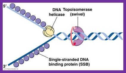 DNA replication of prokaryotes Image008