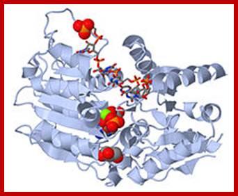 DNA replication of prokaryotes Image011