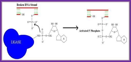 5 : dna ligase diagram - findchart.co