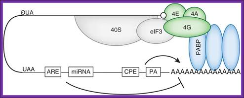 the complex and precise process of protein synthesis This 43s preinitiation complex (43s pic) accompanied by the protein  while protein synthesis is  new protein isoforms can arise this process has.