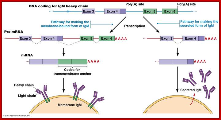 12 the igm gene has two possible polya addition termination sites and a number of exons that can produce two alternative forms the plasma membrane bound ccuart Images