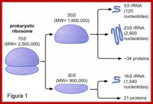 ampicillin e coli