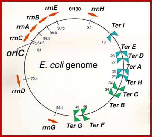 Prokaryotic DNA Replication 3: E Coli DNA Replication